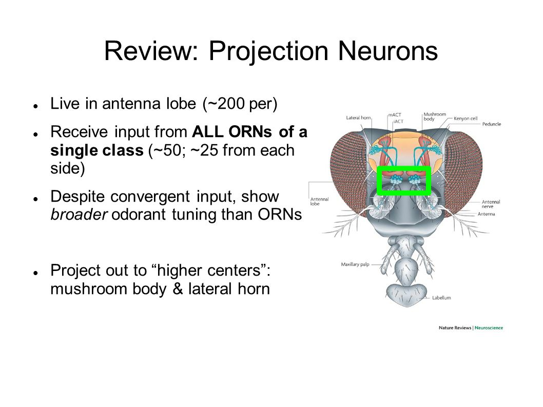 Review: Projection Neurons