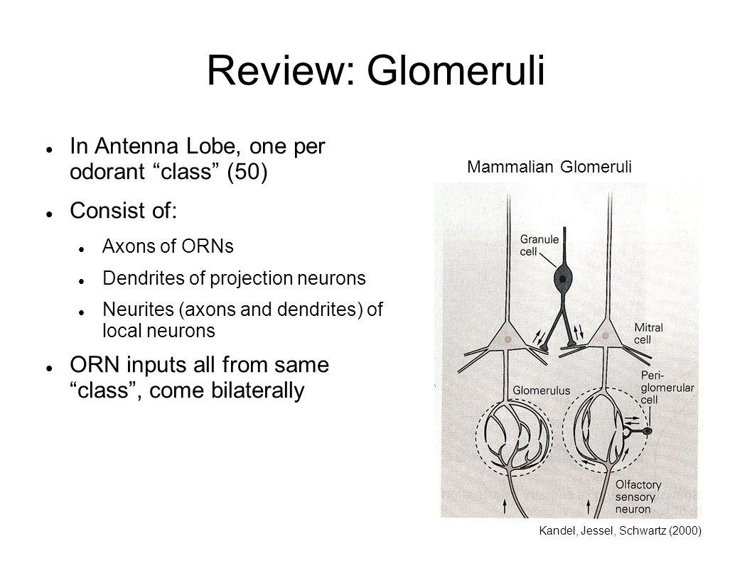 Review: Glomeruli In Antenna Lobe, one per odorant class (50)