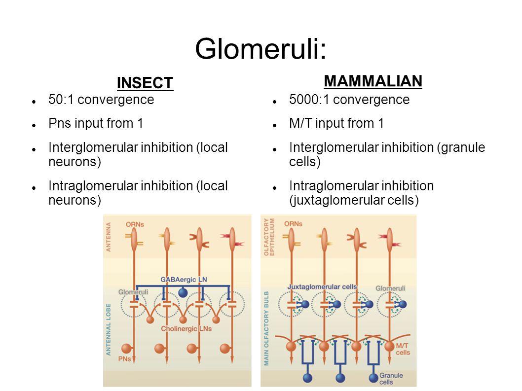 Glomeruli: MAMMALIAN INSECT 50:1 convergence Pns input from 1