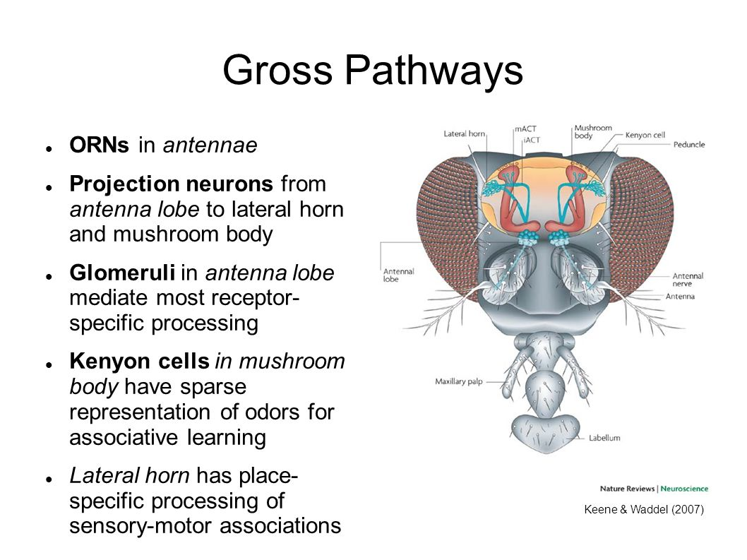 Gross Pathways ORNs in antennae
