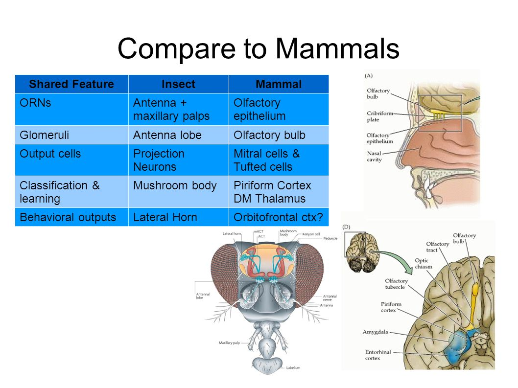 Compare to Mammals Shared Feature Insect Mammal ORNs