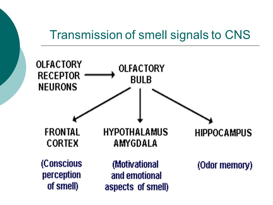 Transmission of smell signals to CNS