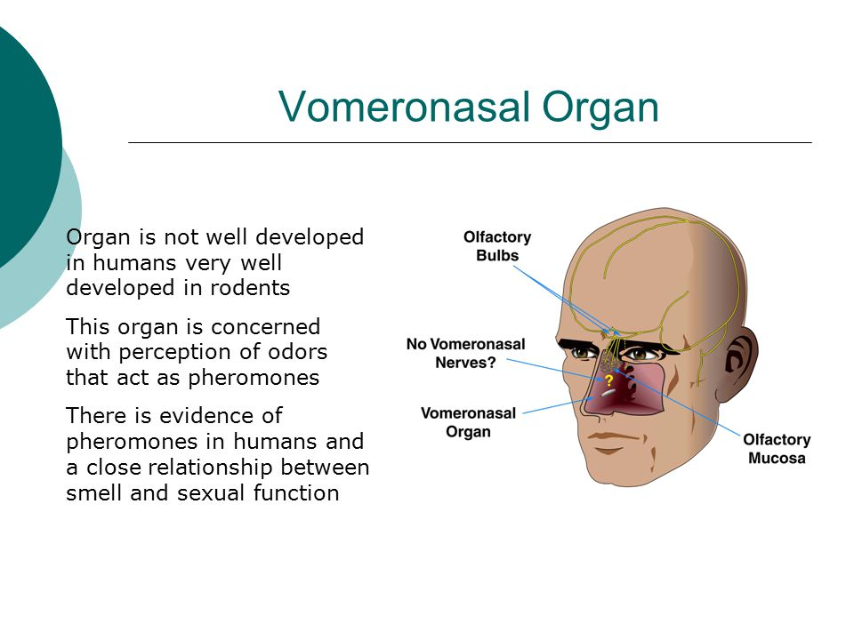 Vomeronasal Organ Organ is not well developed in humans very well developed in rodents.