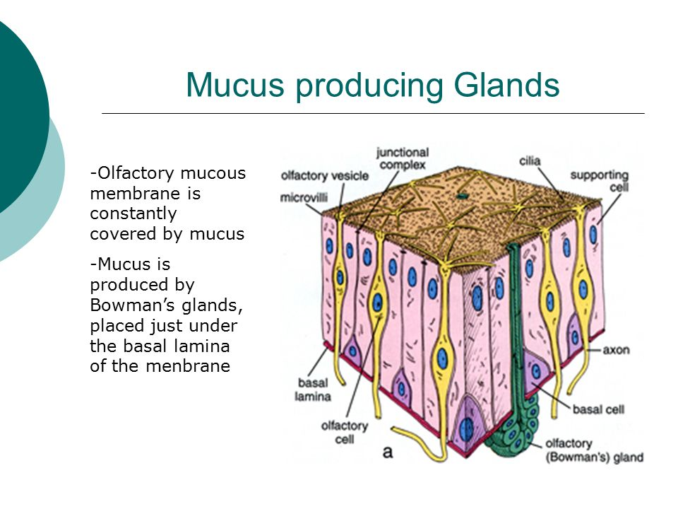 Mucus producing Glands