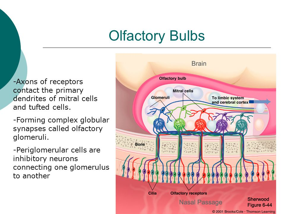 Olfactory Bulbs -Axons of receptors contact the primary dendrites of mitral cells and tufted cells.
