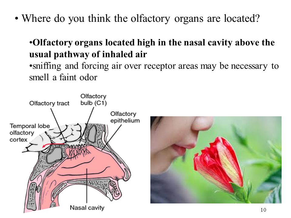 Where do you think the olfactory organs are located