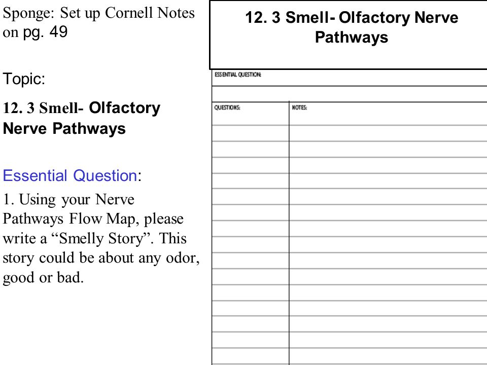 12. 3 Smell- Olfactory Nerve Pathways