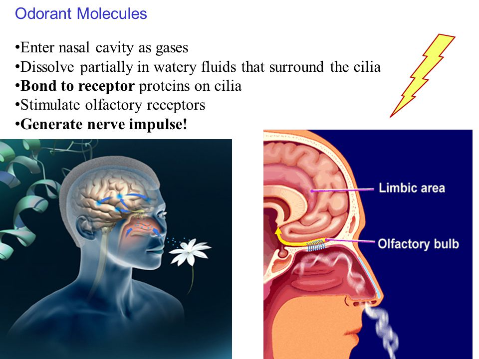Odorant Molecules Enter nasal cavity as gases. Dissolve partially in watery fluids that surround the cilia.