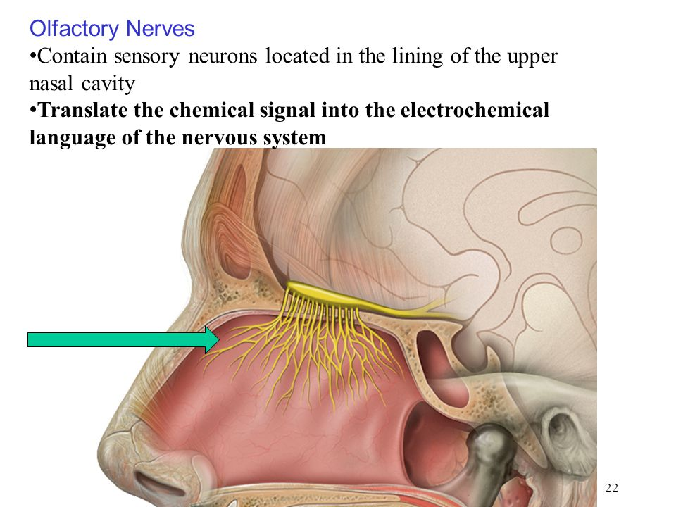 Olfactory Nerves Contain sensory neurons located in the lining of the upper nasal cavity.