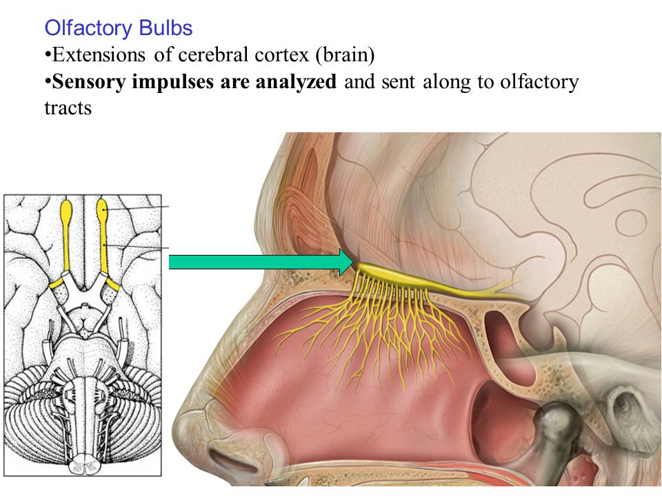 Olfactory Bulbs Extensions of cerebral cortex (brain) Sensory impulses are analyzed and sent along to olfactory tracts.