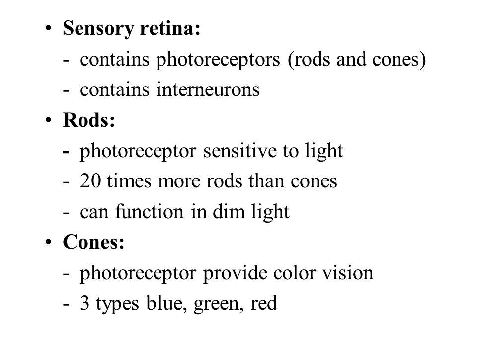Sensory retina: - contains photoreceptors (rods and cones) - contains interneurons. Rods: - photoreceptor sensitive to light.