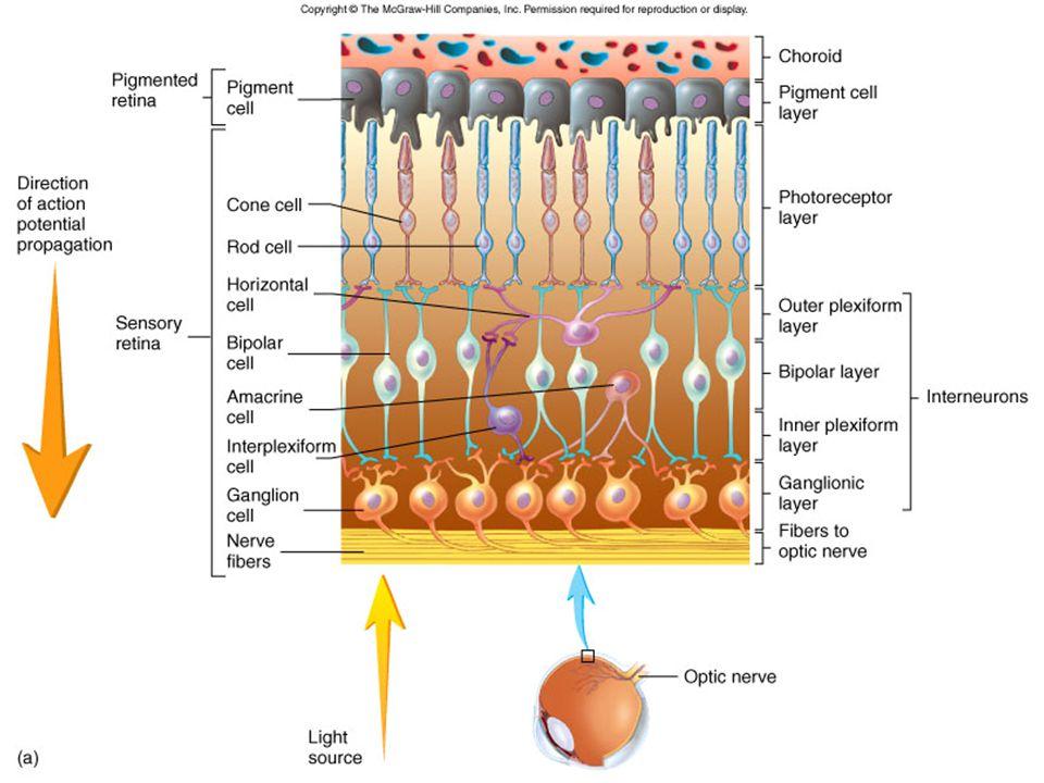 Nervous Tunic (Retina)