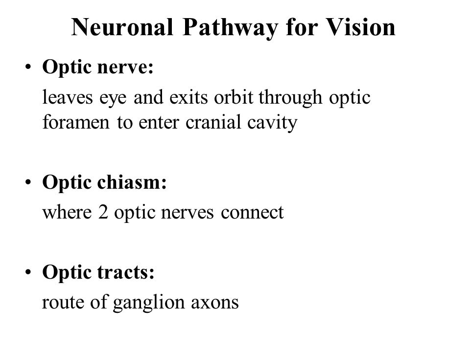 Neuronal Pathway for Vision