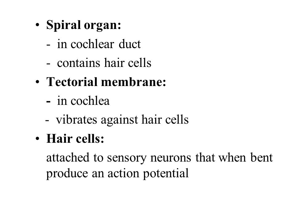 Spiral organ: - in cochlear duct. - contains hair cells. Tectorial membrane: - in cochlea. - vibrates against hair cells.