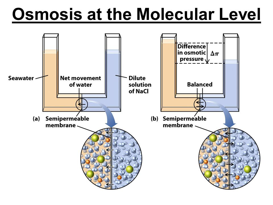 Osmosis at the Molecular Level