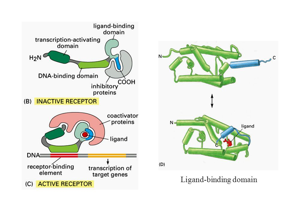 Ligand-binding domain