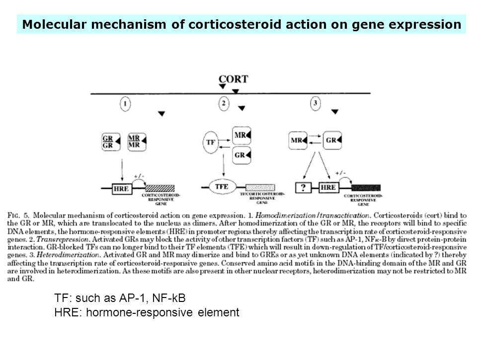 Molecular mechanism of corticosteroid action on gene expression