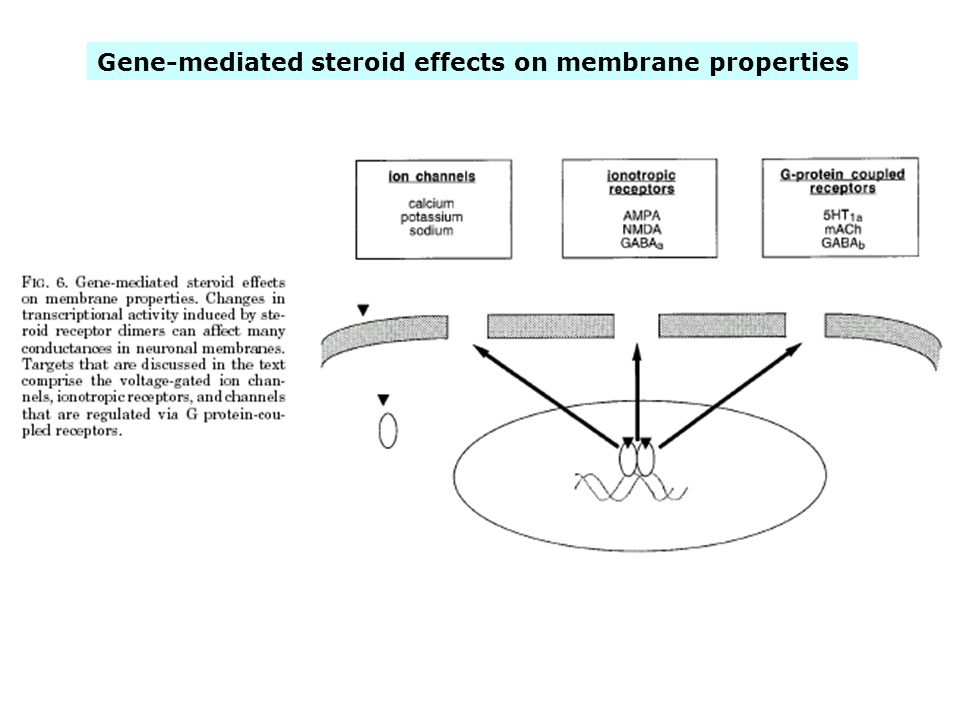 Gene-mediated steroid effects on membrane properties