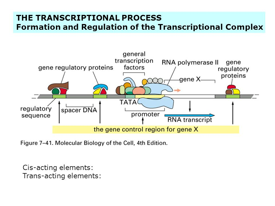 THE TRANSCRIPTIONAL PROCESS