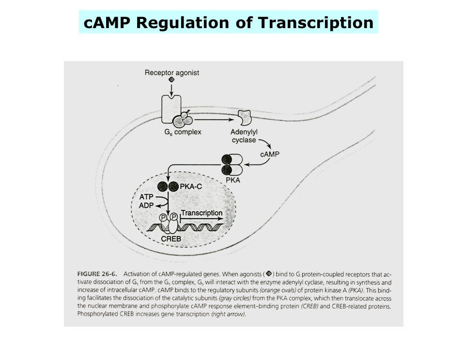 cAMP Regulation of Transcription