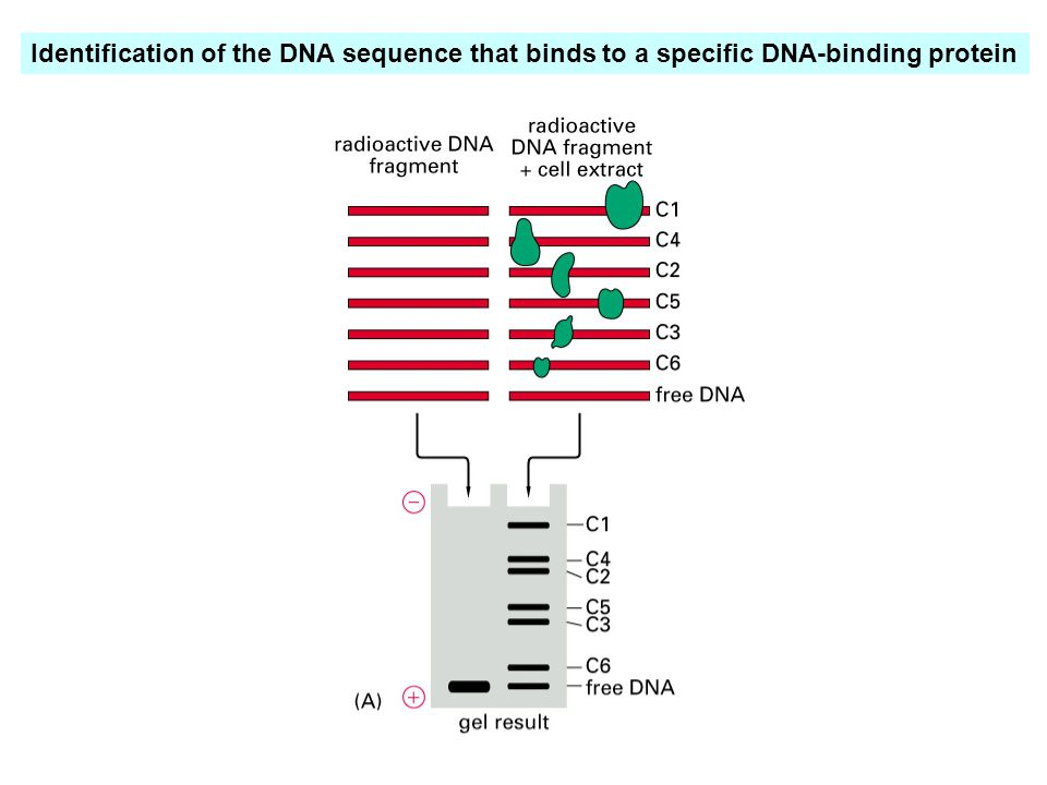 Identification of the DNA sequence that binds to a specific DNA-binding protein