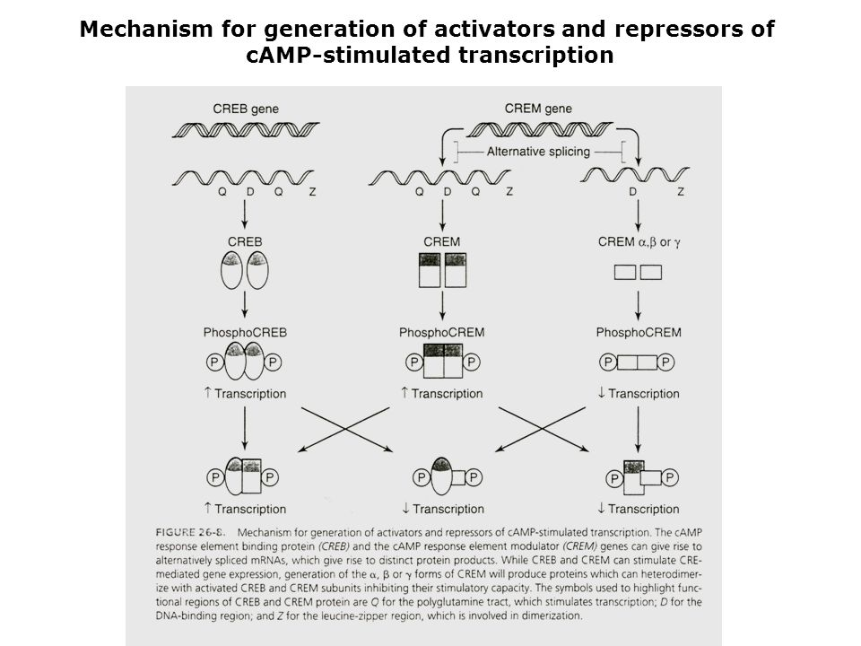 Mechanism for generation of activators and repressors of