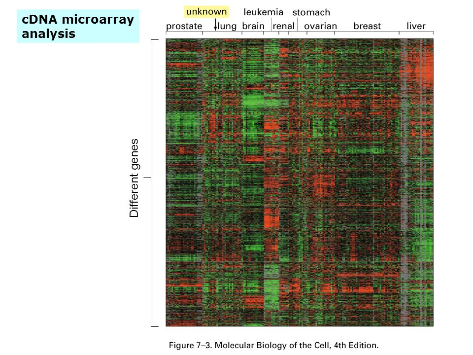 cDNA microarray analysis Different genes