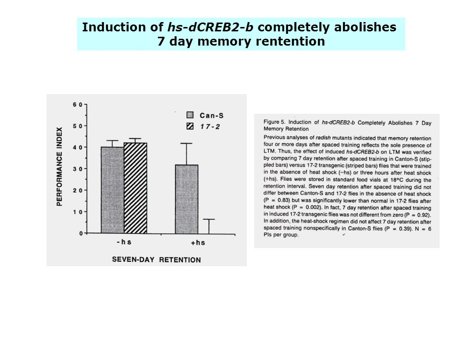 Induction of hs-dCREB2-b completely abolishes