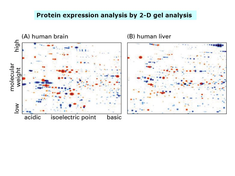 Protein expression analysis by 2-D gel analysis