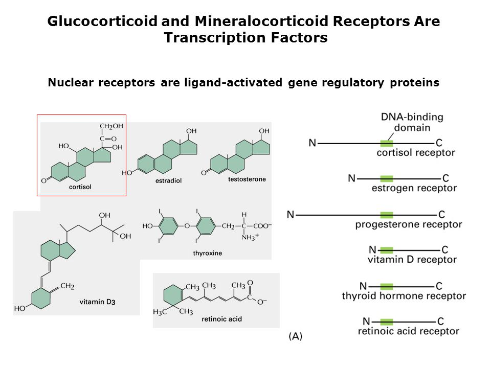 Glucocorticoid and Mineralocorticoid Receptors Are
