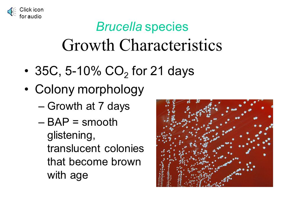 Brucella species Growth Characteristics