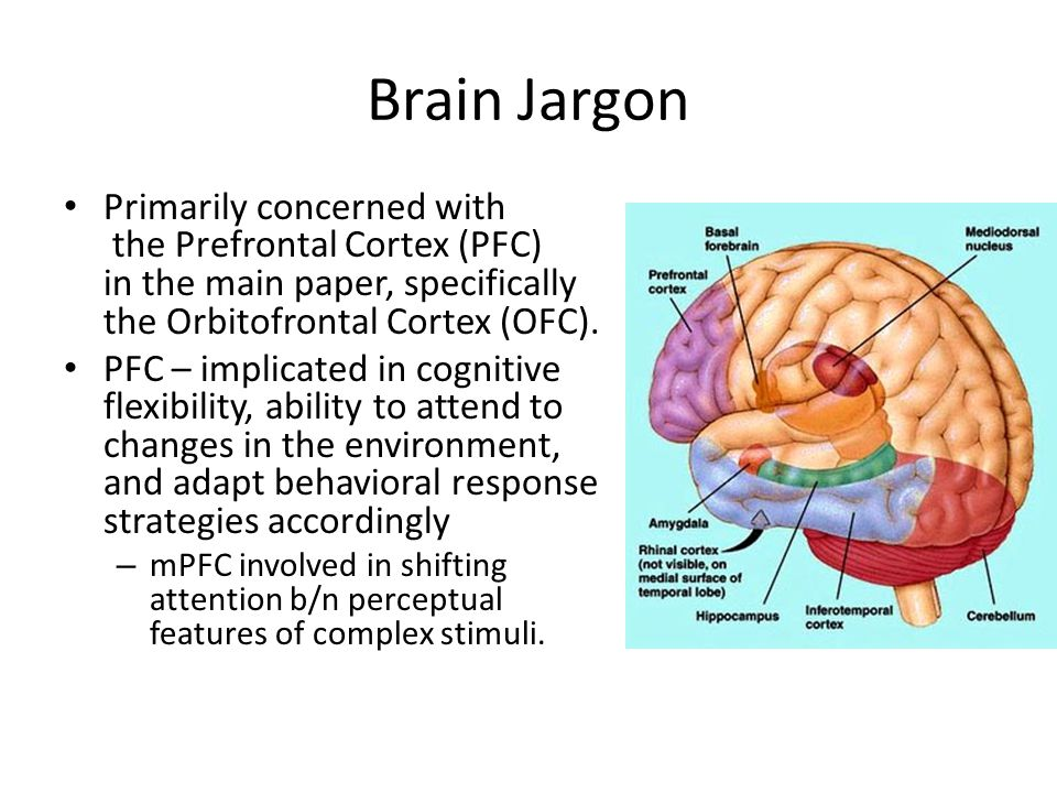 Brain Jargon Primarily concerned with the Prefrontal Cortex (PFC) in the main paper, specifically the Orbitofrontal Cortex (OFC).