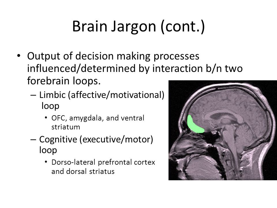 Brain Jargon (cont.) Output of decision making processes influenced/determined by interaction b/n two forebrain loops.