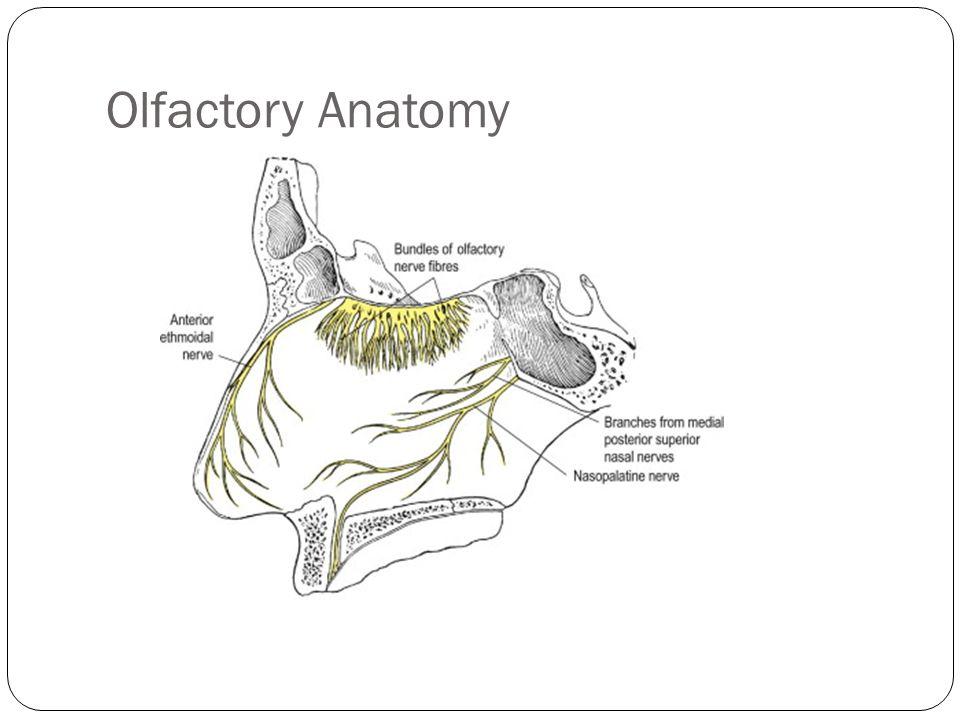 Olfactory Anatomy