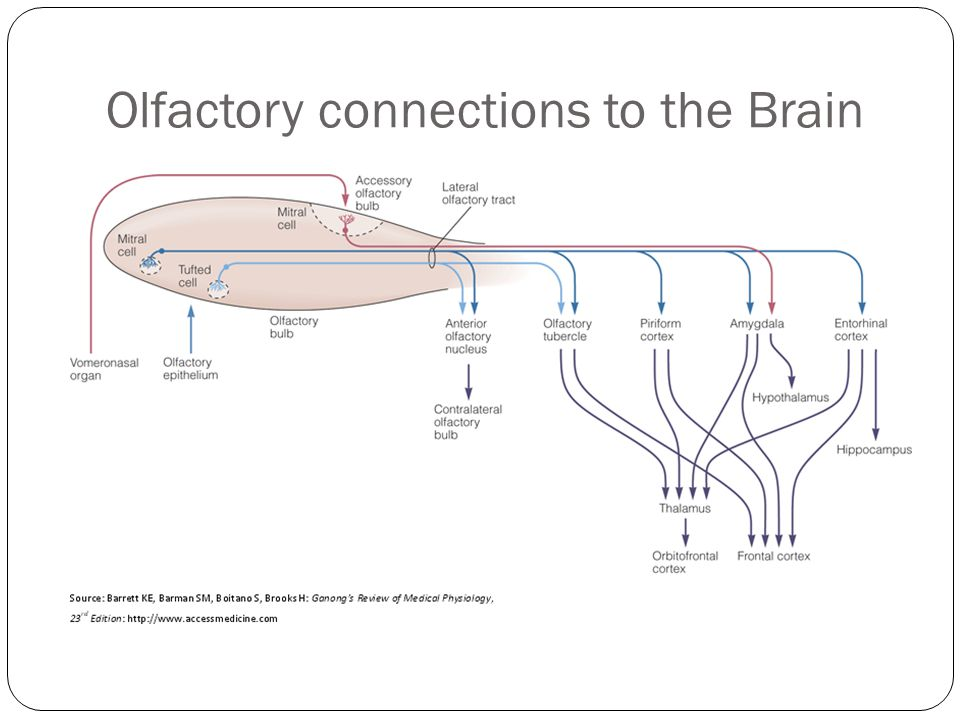 Olfactory connections to the Brain