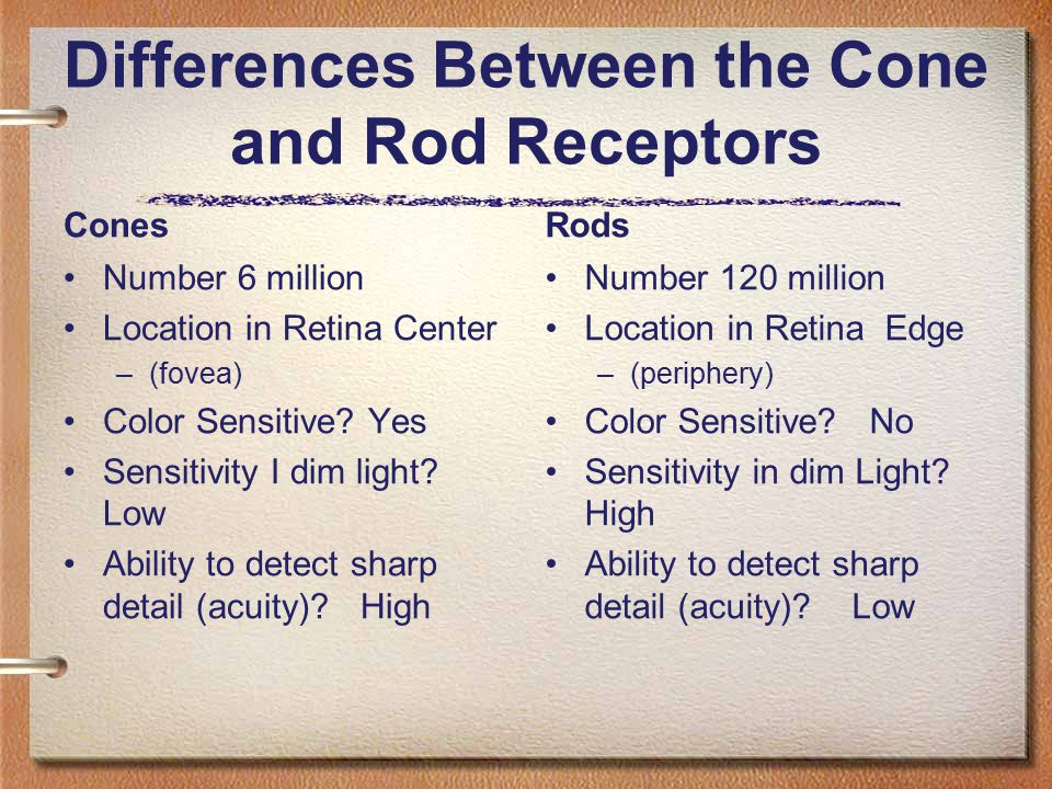 Differences Between the Cone and Rod Receptors