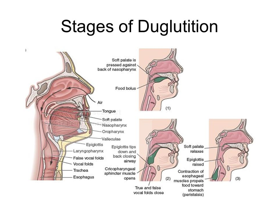Stages of Duglutition