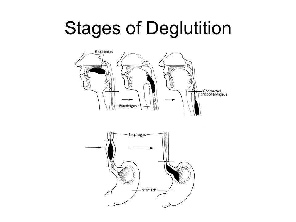 Stages of Deglutition