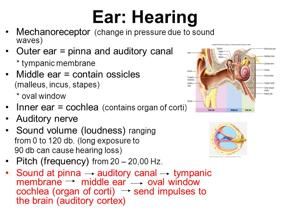 Ear: Hearing Mechanoreceptor (change in pressure due to sound waves)