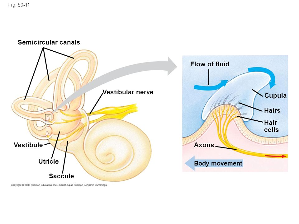 Semicircular canals Flow of fluid Vestibular nerve Cupula Hairs