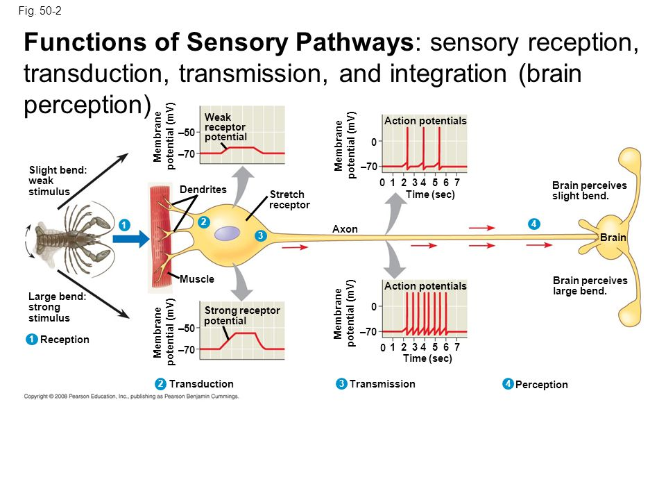 Fig. 50-2 Functions of Sensory Pathways: sensory reception, transduction, transmission, and integration (brain perception)