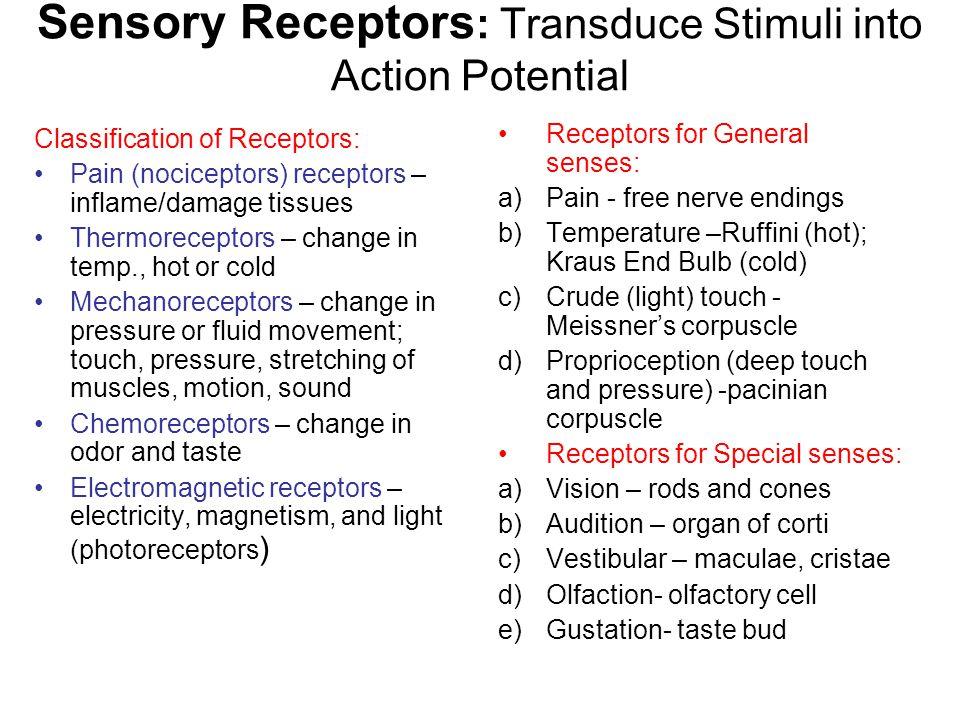 Sensory Receptors: Transduce Stimuli into Action Potential