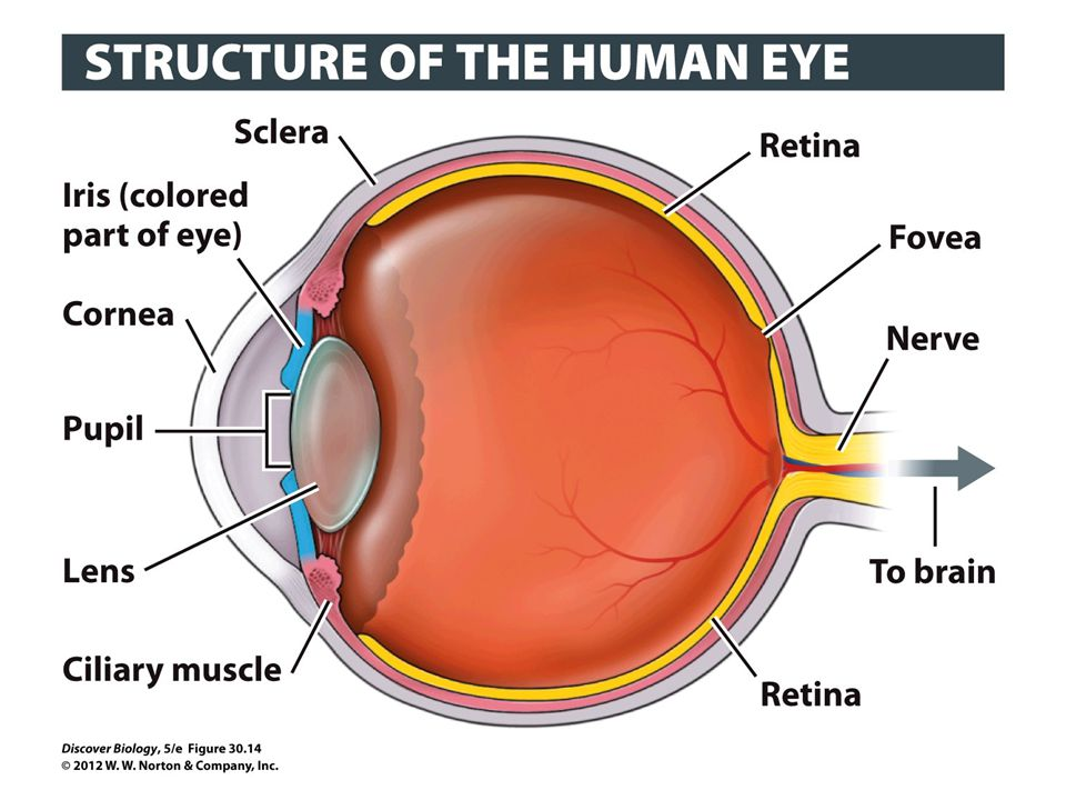 Figure 30.14 Major Features of the Human Eye