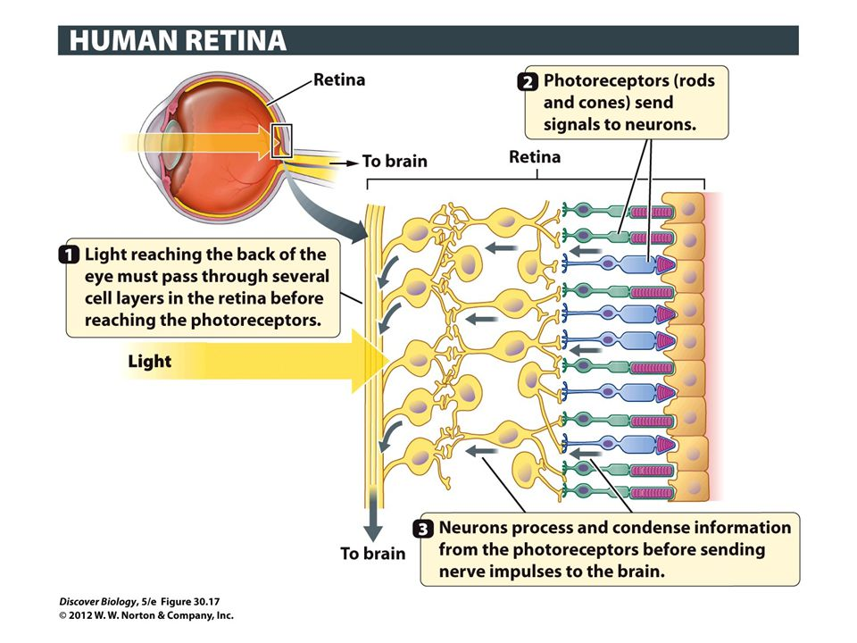 Figure 30.17 Sensory Neurons in the Retina Send Visual Information to the Brain