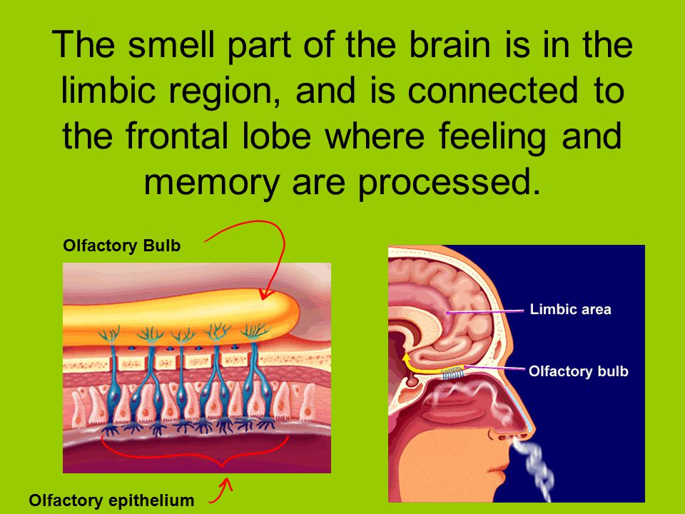 The smell part of the brain is in the limbic region, and is connected to the frontal lobe where feeling and memory are processed.
