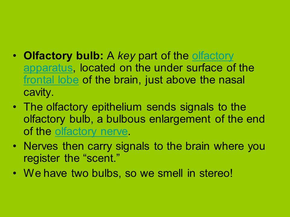 Olfactory bulb: A key part of the olfactory apparatus, located on the under surface of the frontal lobe of the brain, just above the nasal cavity.