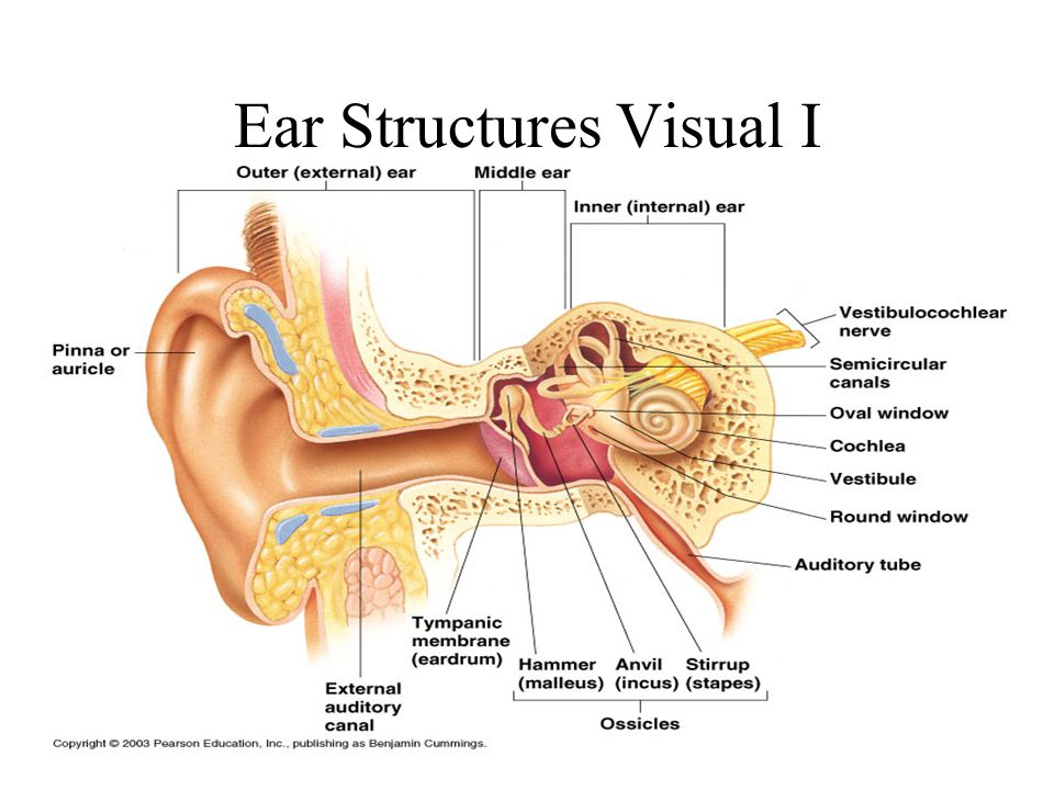 Ear Structures Visual I