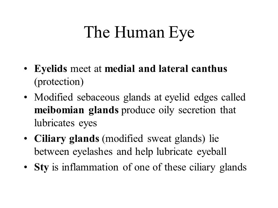 The Human Eye Eyelids meet at medial and lateral canthus (protection)