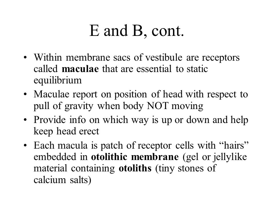 E and B, cont. Within membrane sacs of vestibule are receptors called maculae that are essential to static equilibrium.