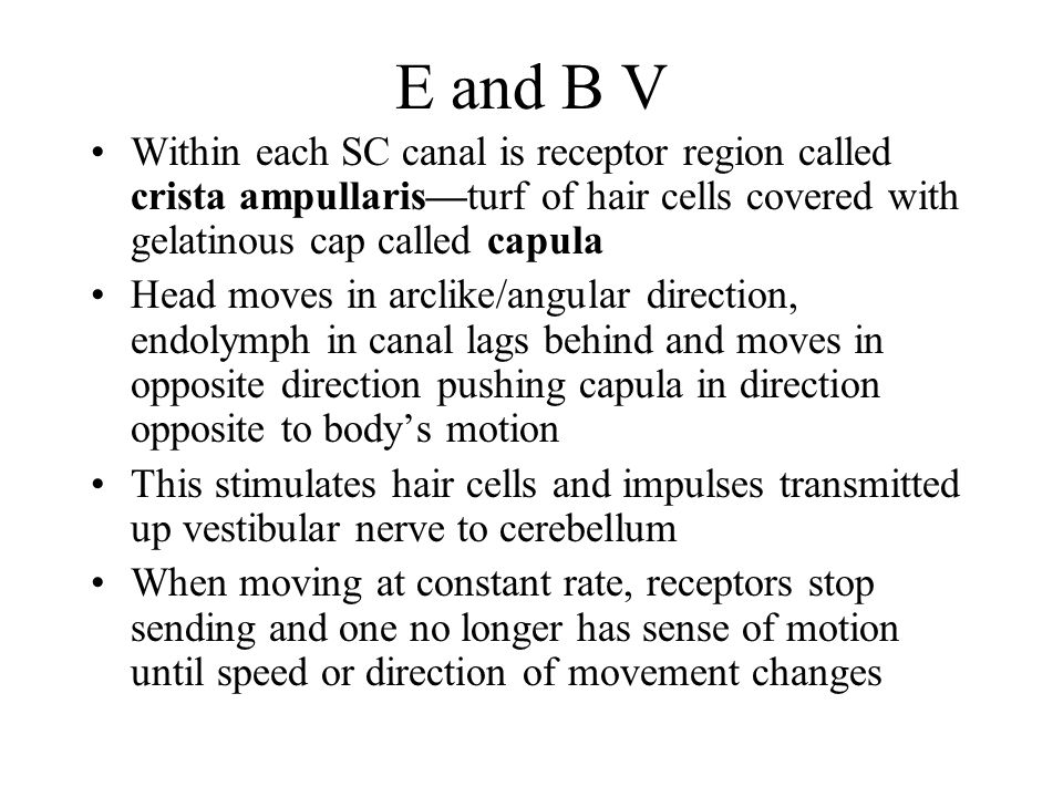 E and B V Within each SC canal is receptor region called crista ampullaris—turf of hair cells covered with gelatinous cap called capula.
